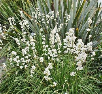 Libertia ixioides [UCSC] 1 flower, form