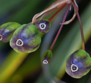 Libertia ixioides [UCSC] 4 fruit
