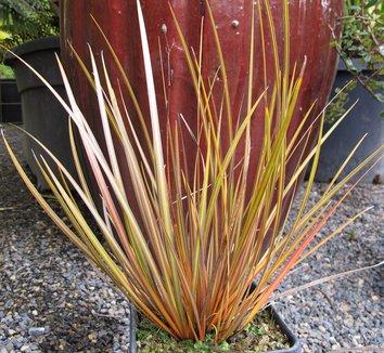 Libertia ixioides 'Taupo Blaze' 18,486 1