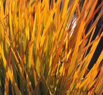 Libertia peregrinans 'Gold Leaf' 1