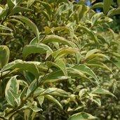 Ligustrum japonicum 'Aureum'