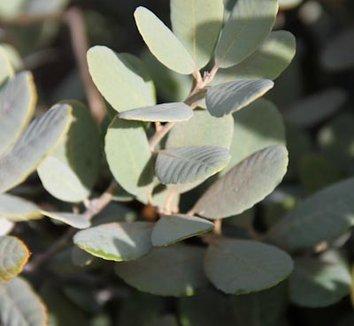 Notholithocarpus densiflorus var. echinoides 8