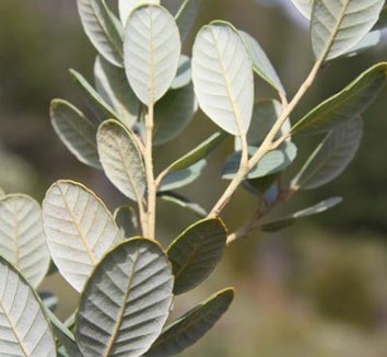 Notholithocarpus densiflorus var. echinoides 6