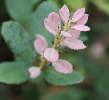 Notholithocarpus densiflorus var. echinoides 4