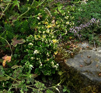 Lonicera crassifolia 8 flower, form