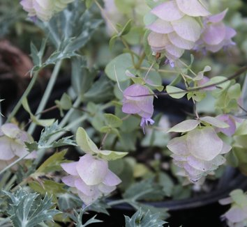 Origanum rotundifolium 'Kent Beauty' 14 flower
