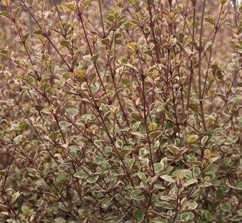 Lophomyrtus x ralphii 'Sundae' 4