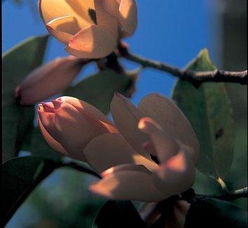 Magnolia x foggii 'Jack Fogg' 1 flower