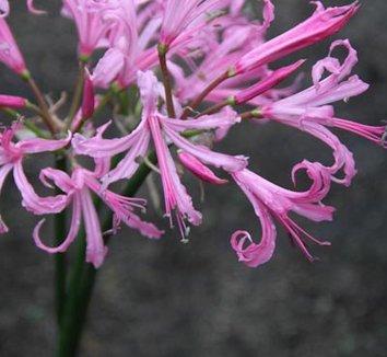 Nerine bowdenii 'Silver Pink' 1 flower