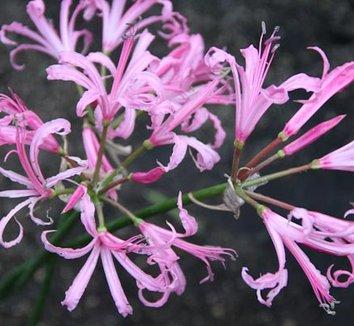 Nerine bowdenii 'Silver Pink' 3 flower