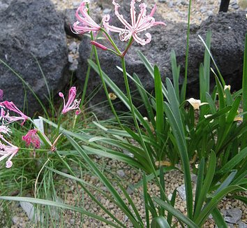 Nerine humilis x sarniensis [deep pink] 3 flower, form
