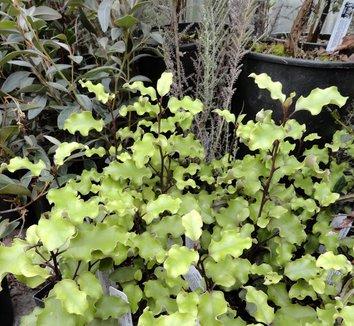 Olearia paniculata 3