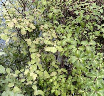 Olearia paniculata 4