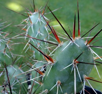 Opuntia polyacantha [red/black spines] 1