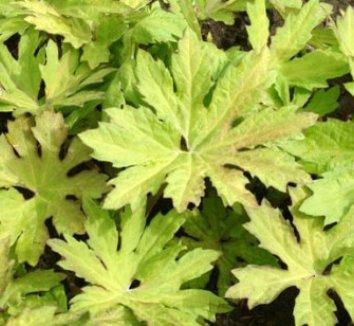 Petasites frigidus var. palmatus 'Golden Palms' 3