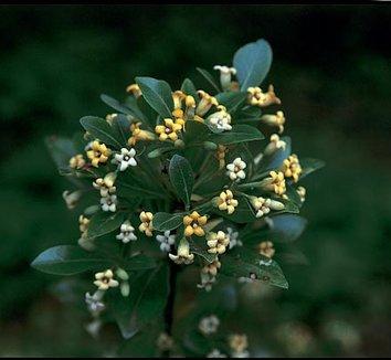 Pittosporum heterophyllum 1 flower