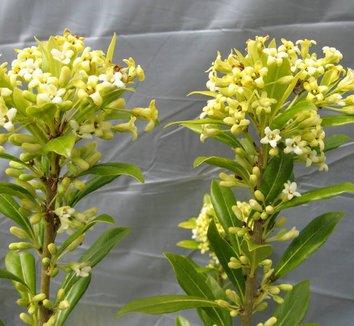 Pittosporum heterophyllum 8 flower