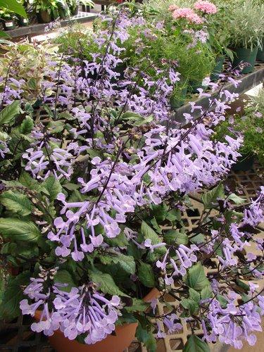 plectranthus 39 plepalila 39 pp13858 plectranthus 39 mona lavender 39 plant lust. Black Bedroom Furniture Sets. Home Design Ideas