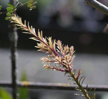 Podocarpus alpinus 'County Park Fire' 7