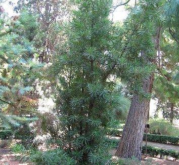 Podocarpus macrophyllus 1 form
