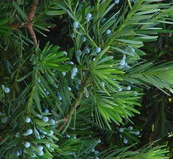 Podocarpus macrophyllus 7 fruit