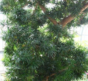 Podocarpus macrophyllus 9 form