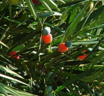 Podocarpus macrophyllus 10 fruit
