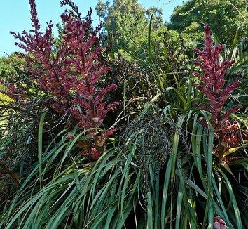 Puya dyckioides 1 flower