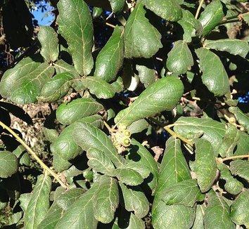 Quercus aff. rugosa [La Siberica strain] 1