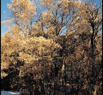 Quercus hypoleucoides 6 form