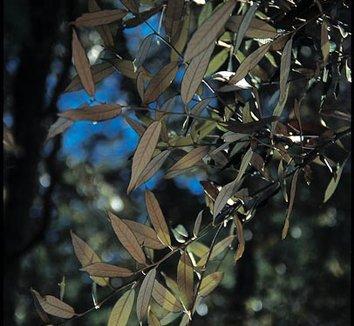 Quercus hypoleucoides 5