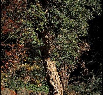 Quercus suber 1 form