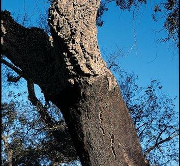Quercus suber 2 trunk