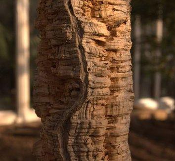 Quercus suber 5