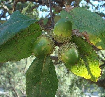 Quercus suber 4 fruit