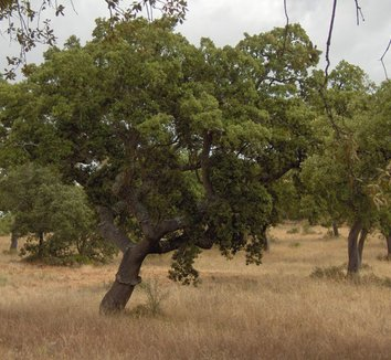 Quercus suber 3 form