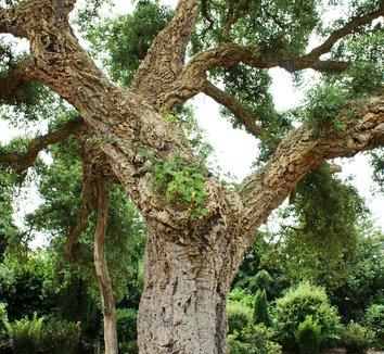 Quercus suber 6 form