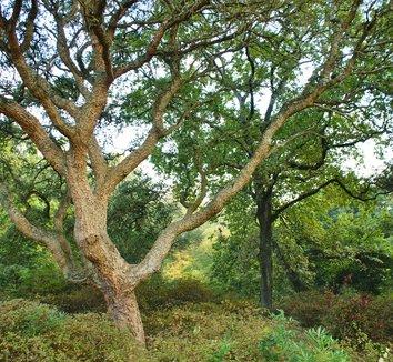Quercus suber 8 form, trunk