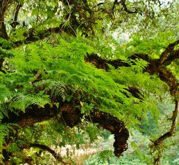 Quercus suber 10 trunk
