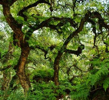 Quercus suber 9 trunk