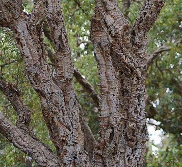 Quercus suber 11 trunk