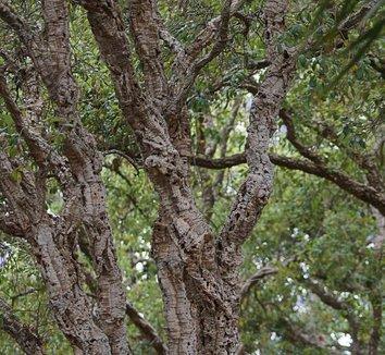 Quercus suber 12 trunk
