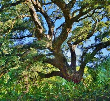 Quercus suber 16 form