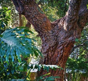 Quercus suber 15 trunk