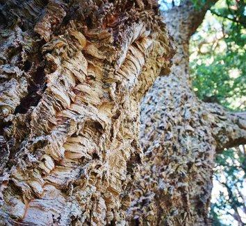 Quercus suber 14 trunk