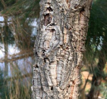 Quercus suber 17 bark