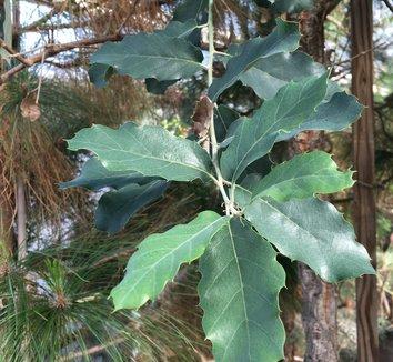 Quercus suber 18