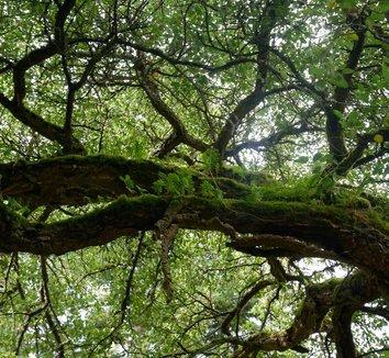 Quercus suber 21 bark