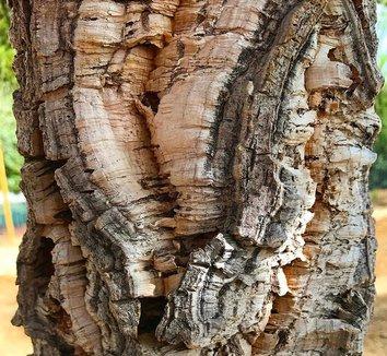 Quercus suber 22 bark