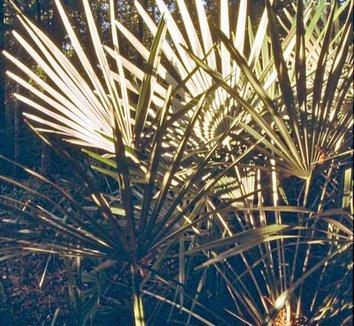 Rhapidophyllum hystrix 1